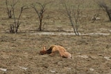 Bogged cattle lie on the ground in north west Queensland after the February floods.