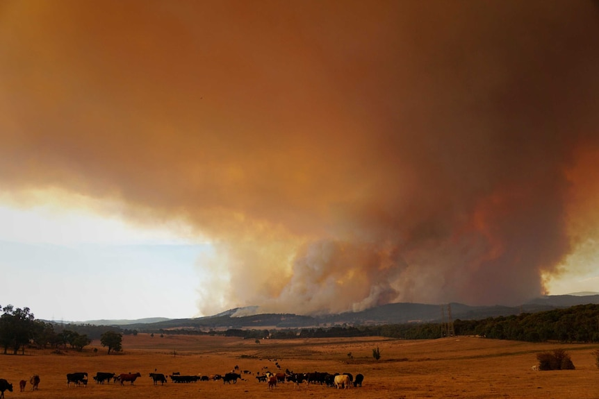 A large plume of smoke rises from a bushfire with cows grazing in the foreground.