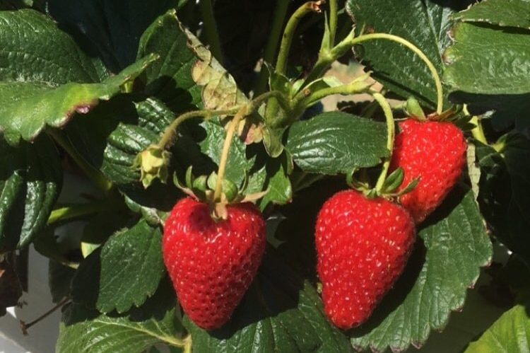 Three red ripe strawberries sprouting from a plant.