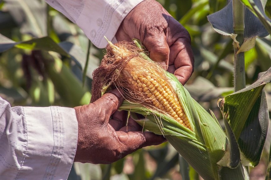A person opens a corn's covering to check if it's ripe.