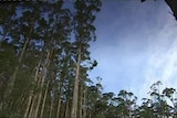 A low angle view of a timber plantation.