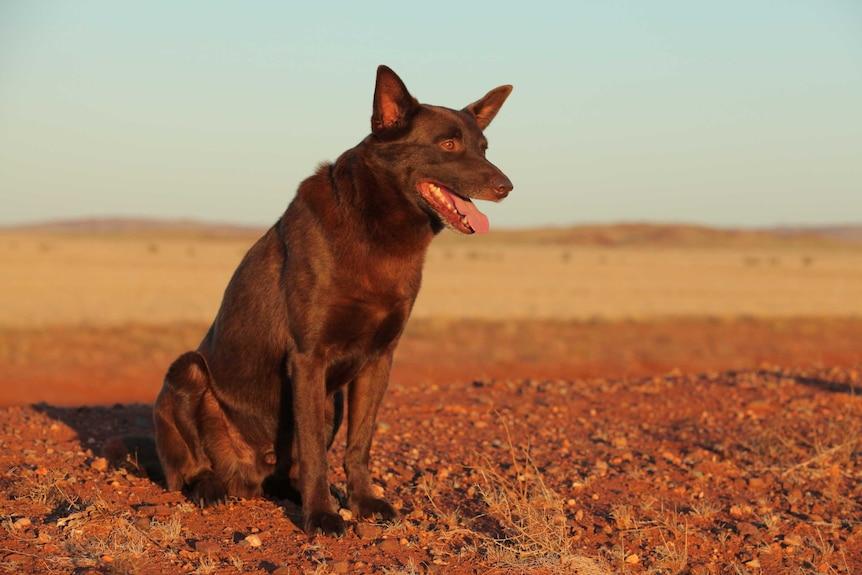 Koko starring in the 2011 Australian film Red Dog directed by Kriv Stenders.