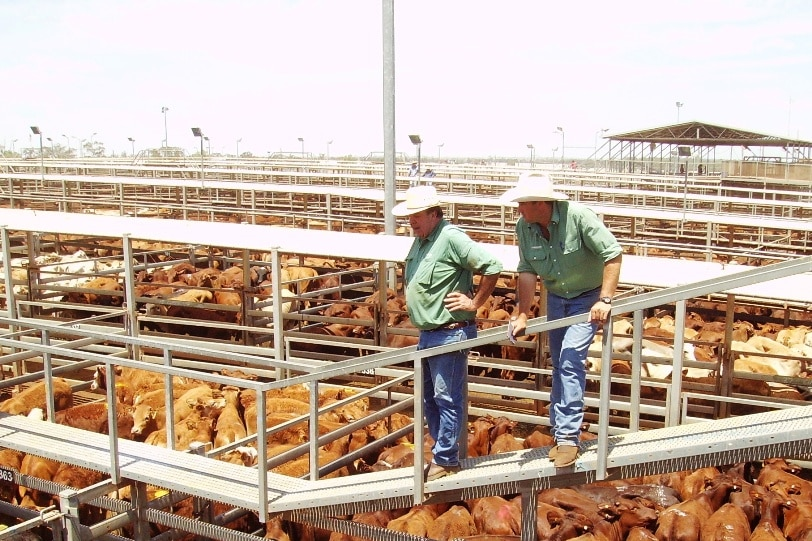 Two livestock agents on the catwalk at the Roma Saleyards.