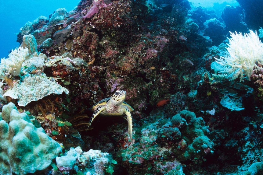 An image of a turtle and some corals in the Pacific nation of Palau.
