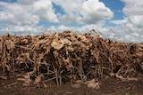 A dead soybean crop near Coraki in the Richmond Valley.