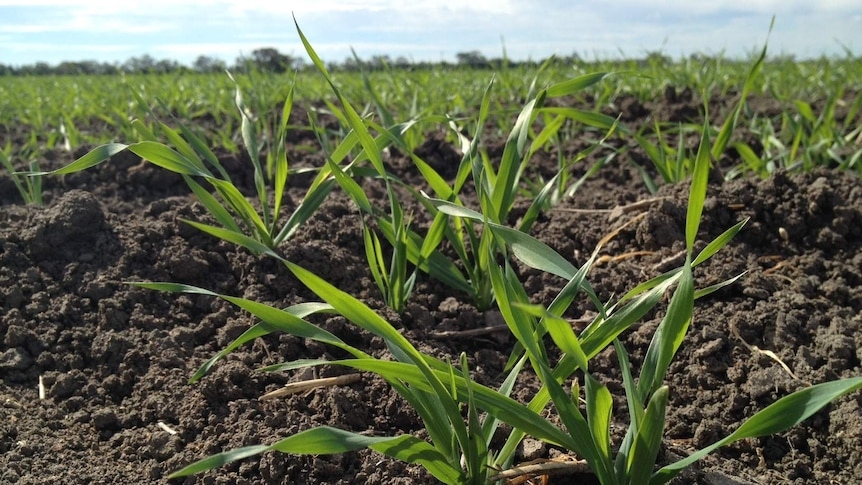 Hunter farmers say weekend rain has come just in time for crops like barley.