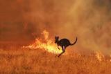 A kangaroo skips through flames in a field