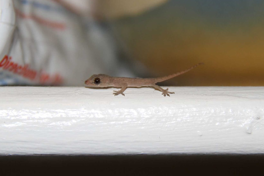 Baby Asian House Gecko in a house