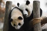 Giant panda Lian Lian (R) with cub Nuan Nuan (L)