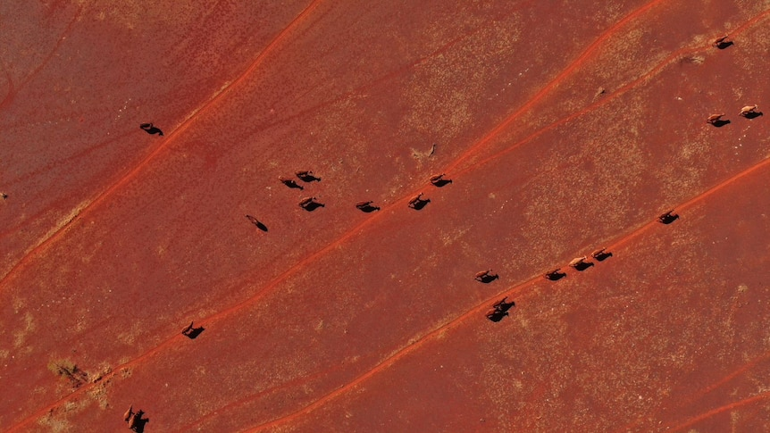 drone footage of cattle walking across red dirt.