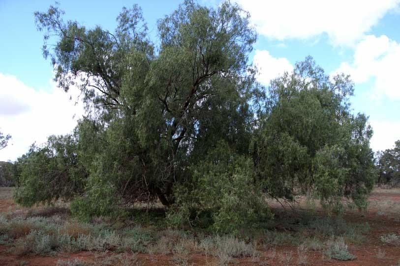 Wilga tree