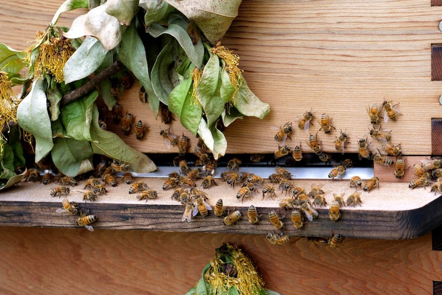 Close up of bees at the opening of a hive, with some wilted leaves.
